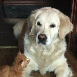 Животные - Золотистый ретривер щенок, 0