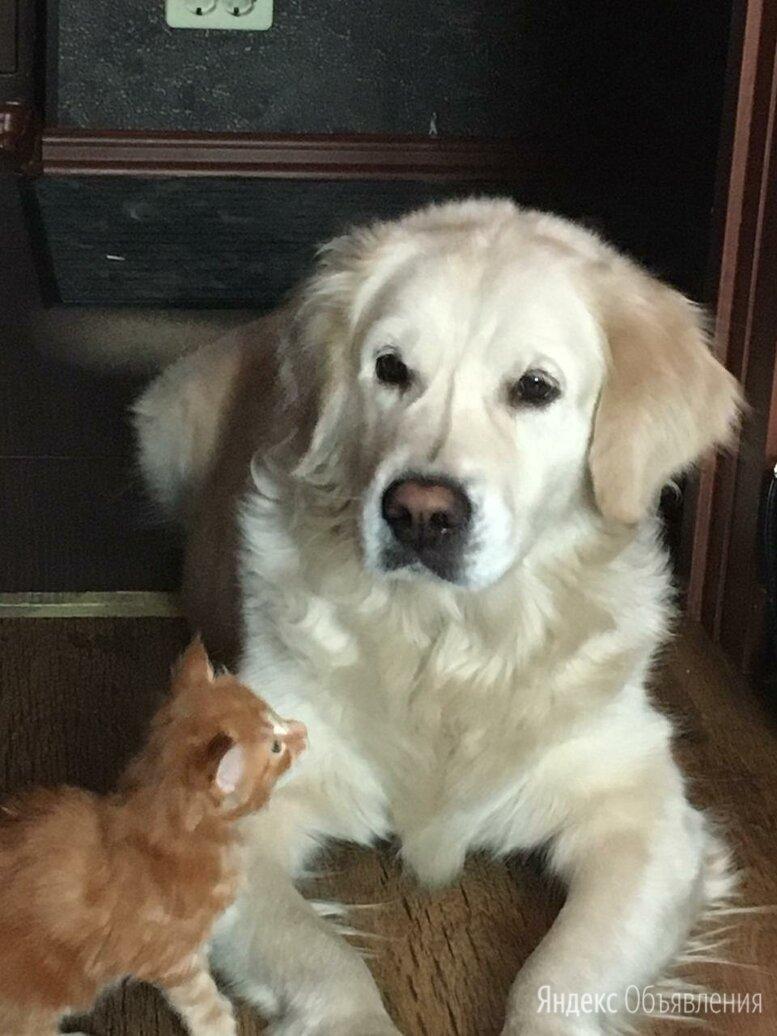 Золотистый ретривер щенок по цене не указана - Животные, фото 0