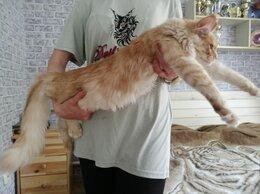 Кошки - Мейн-кун кошечка, 0