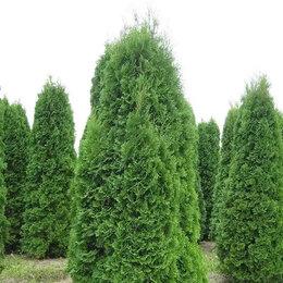 Рассада, саженцы, кустарники, деревья - Туи Смаргд , 0