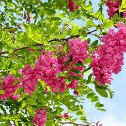 Семена - Семена розовой,белой и желтой акаций, 0