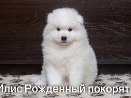 Собаки - Щенки самоедской собаки (Самоед), 0