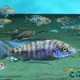 Аквариумные рыбки - Аулонокара Стюарта Гранта, 0