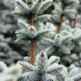 Семена - Семена голубой ели , 0