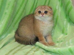 Кошки - шотландский золотой кот шоу класса, 0