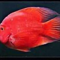 Аквариумные рыбки - Кинг конг красный, 0