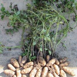Лук-севок, семенной картофель, чеснок - Семенной картофель высокоурожайных уникальных старинных и советских сортов., 0