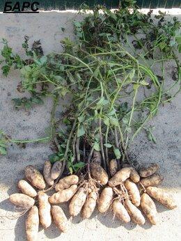 Лук-севок, семенной картофель, чеснок - Семенной картофель высокоурожайных уникальных…, 0