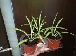 Комнатные растения - Хлорофитумы, 0