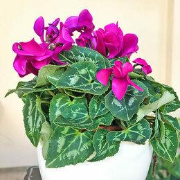 Горшки, подставки для цветов - Цикламен супер верано (Цвет-фиолетовый), 0
