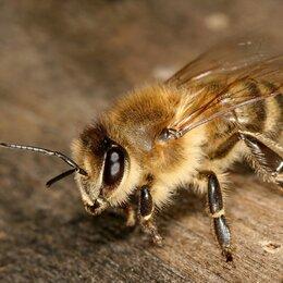 Сельскохозяйственные животные и птицы - Пчелопакеты с Пчёлами бесплатная доставка , 0