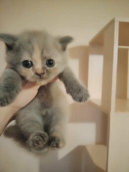 Кошки - Шотландские котята кошечки, 0