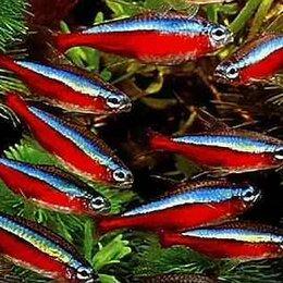 Аквариумные рыбки - Красный Неон молодые рыбки 2,5 см, 0
