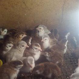 Сельскохозяйственные животные и птицы - Цесарята, 0