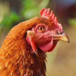 Сельскохозяйственные животные и птицы - Куры несушки, 0