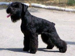 Собаки - Щенки цвергшнауцера , 0