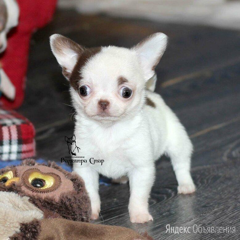 Кукольная Чихуа с видео 3 мес,есть доставка по цене 65000₽ - Собаки, фото 0