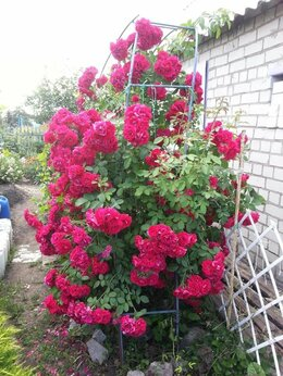 Рассада, саженцы, кустарники, деревья - Роза Фламентас, 0