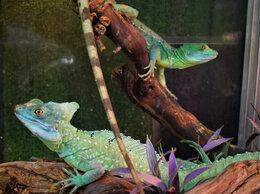 Рептилии - Василиск (пара: самец + самка), 0