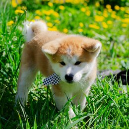 Собаки - Продажа щенков акита-ину, 0