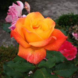 """Комнатные растения - Роза флорибунда """"Orange Sensation"""" (Оранж…, 0"""