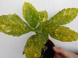 Комнатные растения - Аукуба, 0