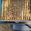 Пчелопакеты , матки , пчелы , улики . по цене 4200₽ - Сельскохозяйственные животные и птицы, фото 2