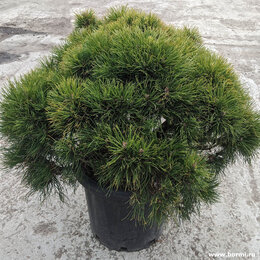 Рассада, саженцы, кустарники, деревья - Сосна горная 'Варелла', 0
