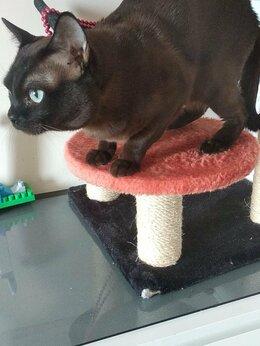 Кошки - Соболиного  окраса котик, 0