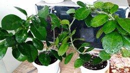 Комнатные растения - Хойя АУСТРАЛИС, 0