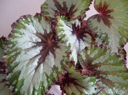 Комнатные растения - Бегония королевская серебристая, 0