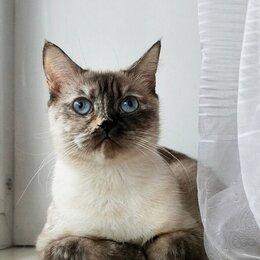 Кошки - Шотландская Кошка по цене кастрации, 0