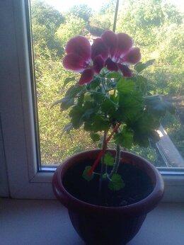 """Комнатные растения - Алоэ """"Вера"""", 0"""