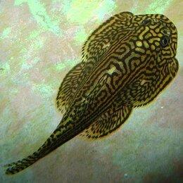 Аквариумные рыбки - Псевдоскат мини Севеллия Линеолата мирная рыбка (растут до 5 см), 0