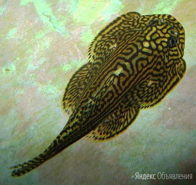 Псевдоскат мини Севеллия Линеолата мирная рыбка (растут до 5 см) по цене 200₽ - Аквариумные рыбки, фото 0