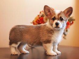 Собаки - Щенки вельш корги пемброк , 0