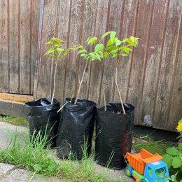 Рассада, саженцы, кустарники, деревья - Серый (маньчжурский орех) двухлетние саженцы с ЗКС, 0