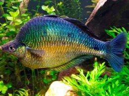 Аквариумные рыбки - Меланотения радужница бирюзовая, 0