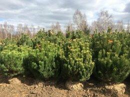 Рассада, саженцы, кустарники, деревья - Сосна горная Мугус 80-100 см, 0