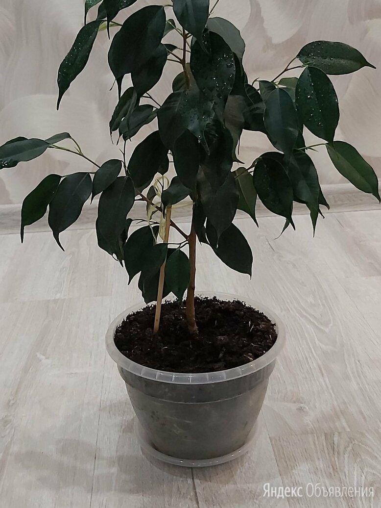 Фикус Бенджамина по цене 400₽ - Комнатные растения, фото 0