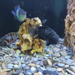 Аквариумные рыбки - Цихлазома чернополосая, 0