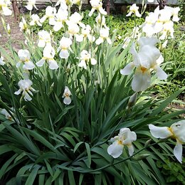 Луковичные растения - Ирисы белые садовые , 0