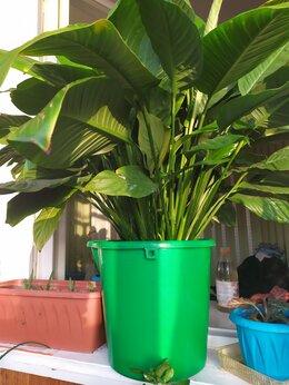 """Комнатные растения - ,,Женское счастье""""-растение, 0"""