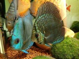 Аквариумные рыбки - дискусы распродажа, 0