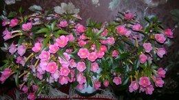 Комнатные растения - Ахименесы, 0