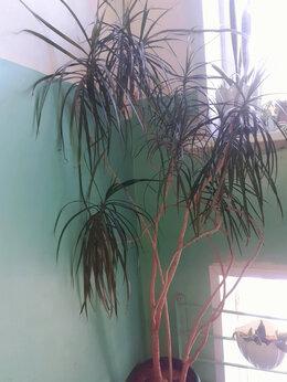 Комнатные растения - Драцена пальмовидная, 0