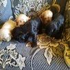 Щетки американские Кокер спаниель по цене 8000₽ - Собаки, фото 3