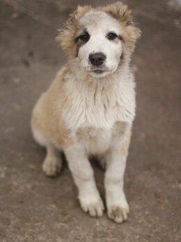 Собаки - Среднеазиатская овчарка, 0