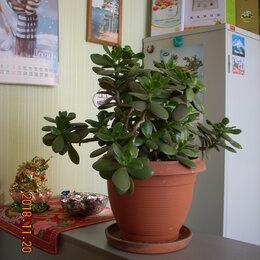 Комнатные растения - Крассула-денежное дерево., 0