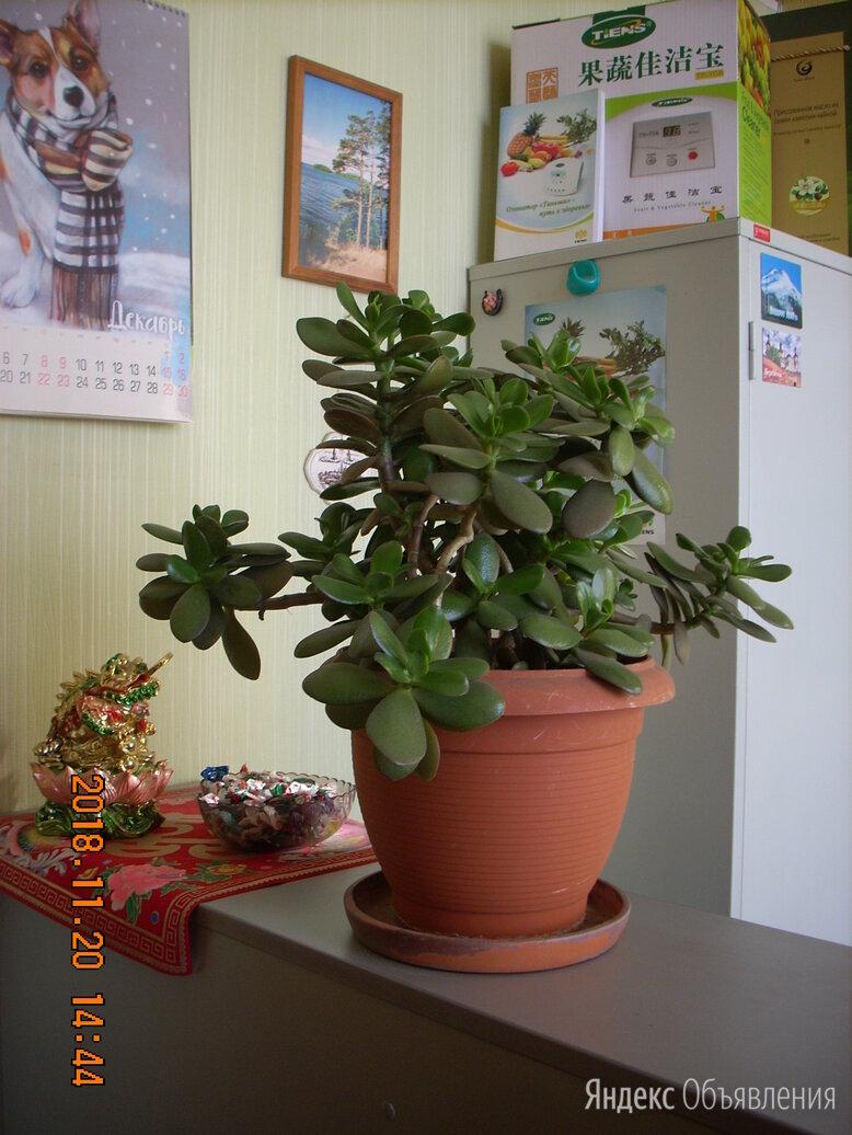 Крассула-денежное дерево. по цене 5500₽ - Комнатные растения, фото 0
